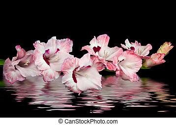 rosa, gladiola, reflexión