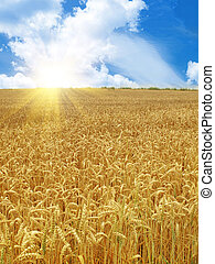 grain field and sunny day - grain field under beautiful sky...