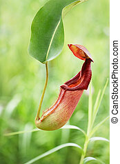 pitcher plant also known as monkey cup in a garden