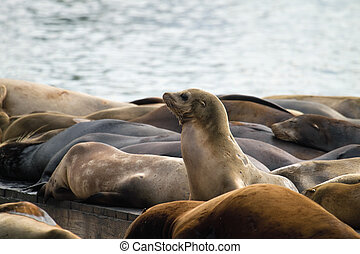 Sea Lions Sunning on Barge at Pier 39 San Francisco - Sea...