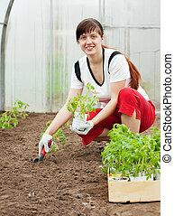 woman planting tomato spouts