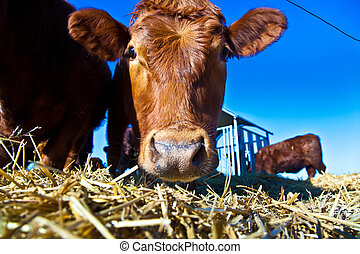 friendly cattle on straw with blue sky
