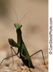 Praying Mantis - close-up of a praying mantis.