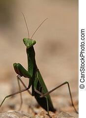 Praying Mantis - close-up of a praying mantis.
