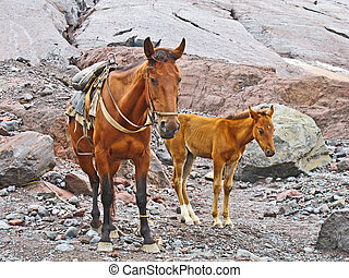 horses for transportation goods in the mount Kasbek area,,...