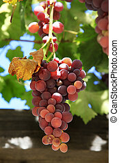 Grapes on vine sunny day