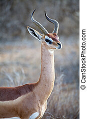 Gerenuk Litocranius walleri male