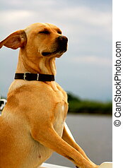Very proud labrador dog - Proud labrador dog on boat