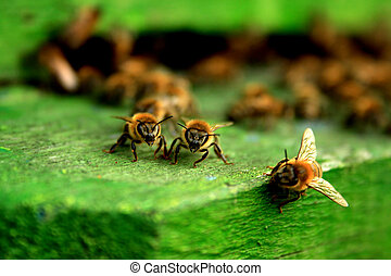 trabalhando, abelha, macro, tiro