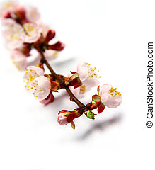 Apricot blossom - Pink apricot blossom isolated on white,...