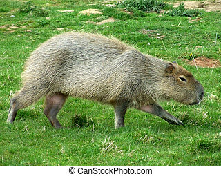 Capybara on the hunt for food