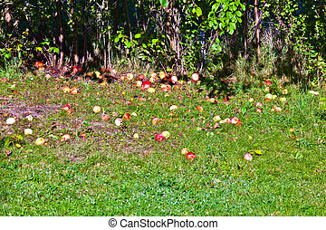 windfall apples on the grass