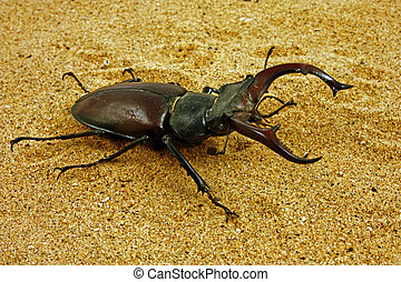 Lucanus cervus - Crawling beetle with big mandibles