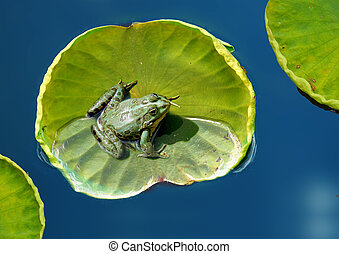Frog resting on a lotus leaf on the lake