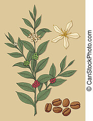Coffee tree - A branch of coffee tree with flower and beans...