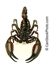 Scorpion Ptalamneus Fulvipes - Scorpion crawling in combat...