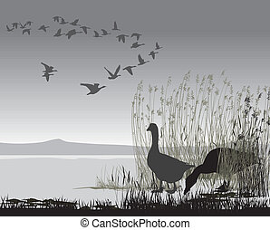 Wild geese, delayed migrating - Illustration of wild geese...