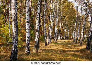 Birch forest - We go through birch forest