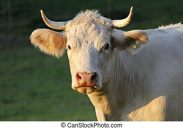 Cow - A young cow in the late afternoon sun