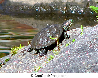 small red eared slider turle - small red eared slider on a...