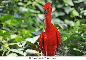 Scarlet Ibis bird - Scarlet Ibis (Eudocimus ruber) red...