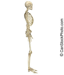 Human Skeleton Anatomy Side View - A side view illustration...