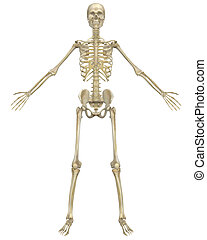 Human Skeleton Anatomy Front View - A front view...