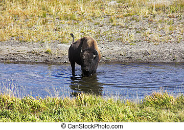 A watering place - Bison on a watering place in well-known...