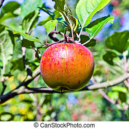 apple hanging on an apple tree