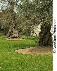Olive tree park