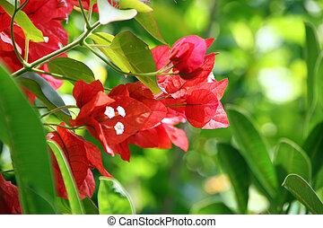 Bougainvillea flower - beautiful Bougainvillea flower...