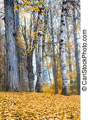 Aspen trees in park.