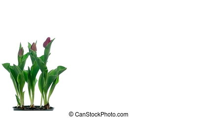 Tulips Timelapse - Timelapse of tulips blooming.