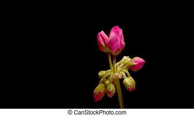 Geranium Timelapse - Timelapse of a geranium blooming
