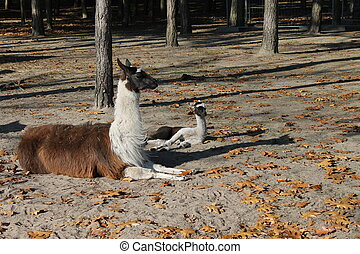 Adult and baby Lama under some threes