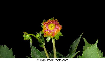 Dahlia Timelapse - Timelapse of a dahlia flower blooming