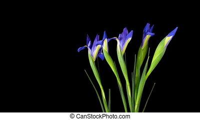 Iris Timelapse - Timelapse of iris blooming.
