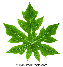 Papaya Leaf Isolated - Close-up of a Papaya Leaf Isolated on...
