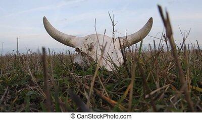 Cow skull in a field