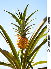 Pineapple Plant - Pineapple on the plant tropical fruit on...
