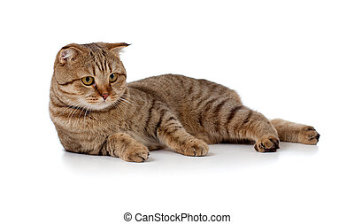 Scottish tabby-cat is lying on floor, isolated on white -...