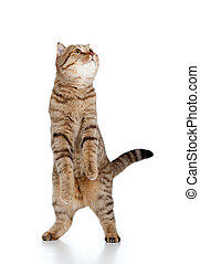 Scottish tabby-cat stands while playing, isolated on white -...