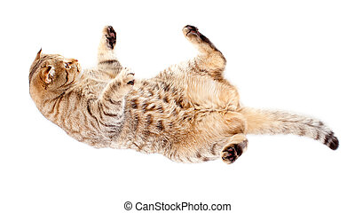 falling tabby-cat, isolated on white