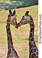 Giraffes kissing - Two giraffes appear to by kissing at the...