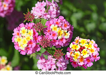 Pink Yellow Lantana - Shrub verbenas lantanas (Lantana...