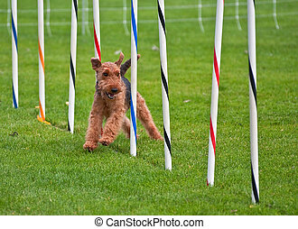 Airedale Terrier Dog Running Through Obsticle Course Show -...