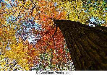 Looking up at maple tree in fall - A maple tree in all its...