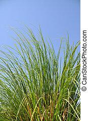 Reeds in summer - Reeds against a blue sky