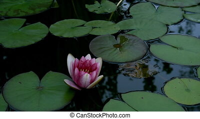 Water Lily Timelapse - Timelapse of a water lily blooming.
