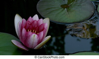Water Lily Timelapse - Timelapse of a water lily blooming